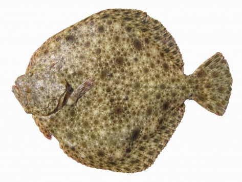 Canada deep sea for Turbot fish price
